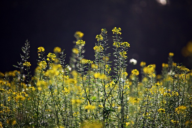 Senfblüten / rihaij on Pixabay