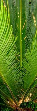 chlorophyll chlorella