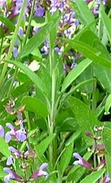 salbei blatt grün