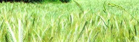 weizenfeld weizengras