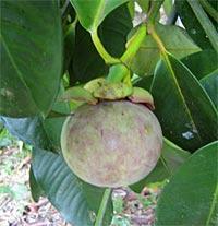mangostan frucht am baum