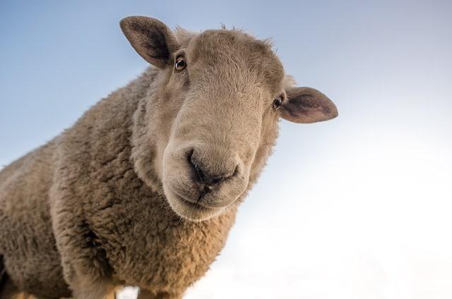 Schafe Lammzucht