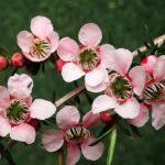 was-ist-die-teebaumoel-wirkung